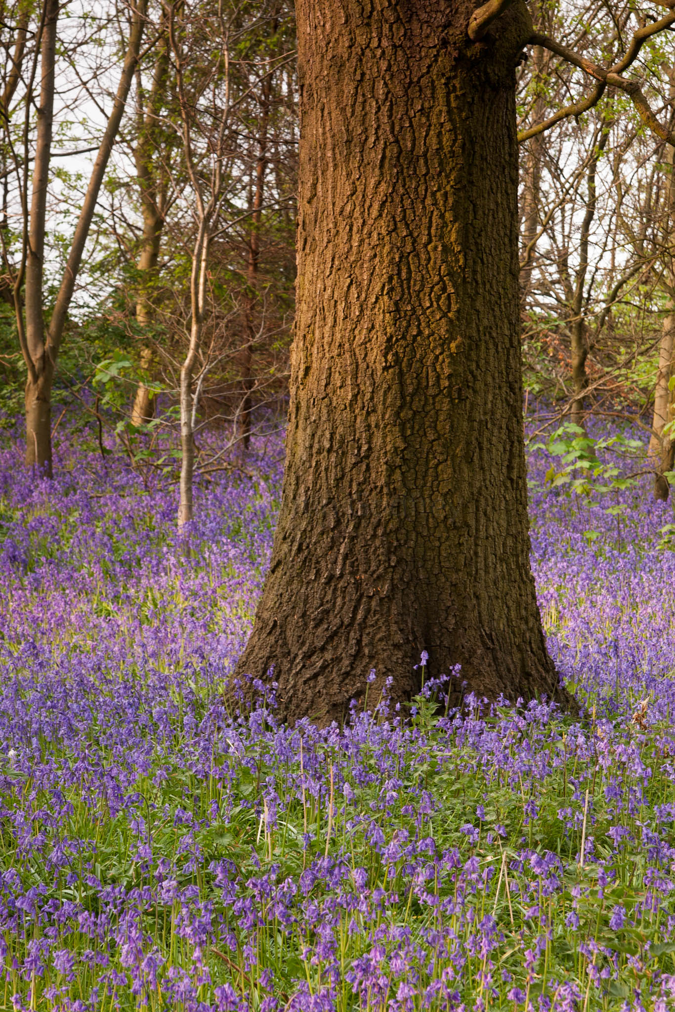 The Bluebells of Calke Park